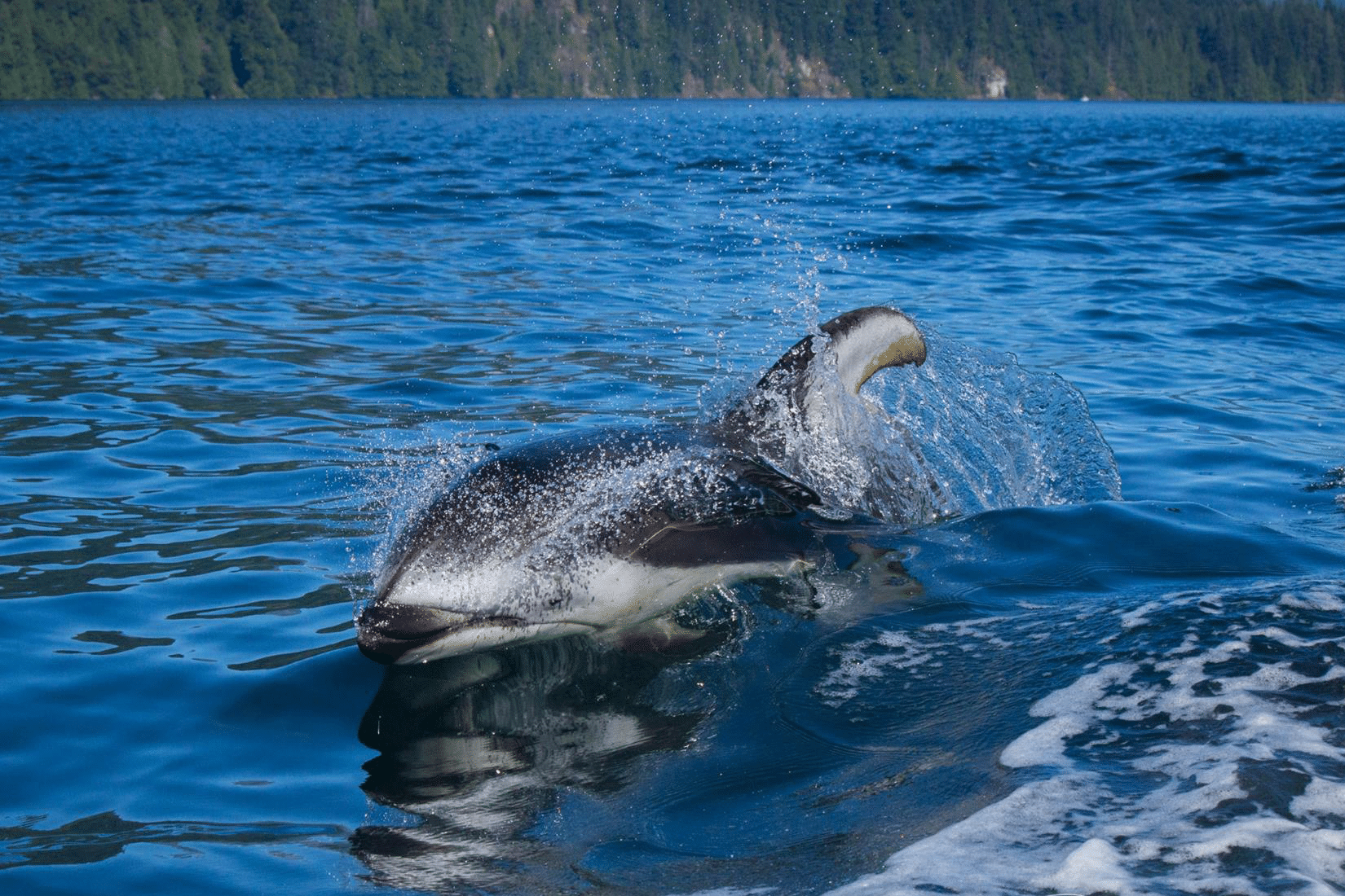 Pacific White Sided Dolphin, Whale Watching, Discovery West Adventures, Whale Watching Campbell River, BC, Brown's Bay Resort