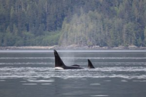 Whale Watching Campbell River, BC, Brown's Bay Resort, orcas, seymour narrows, discovery passage