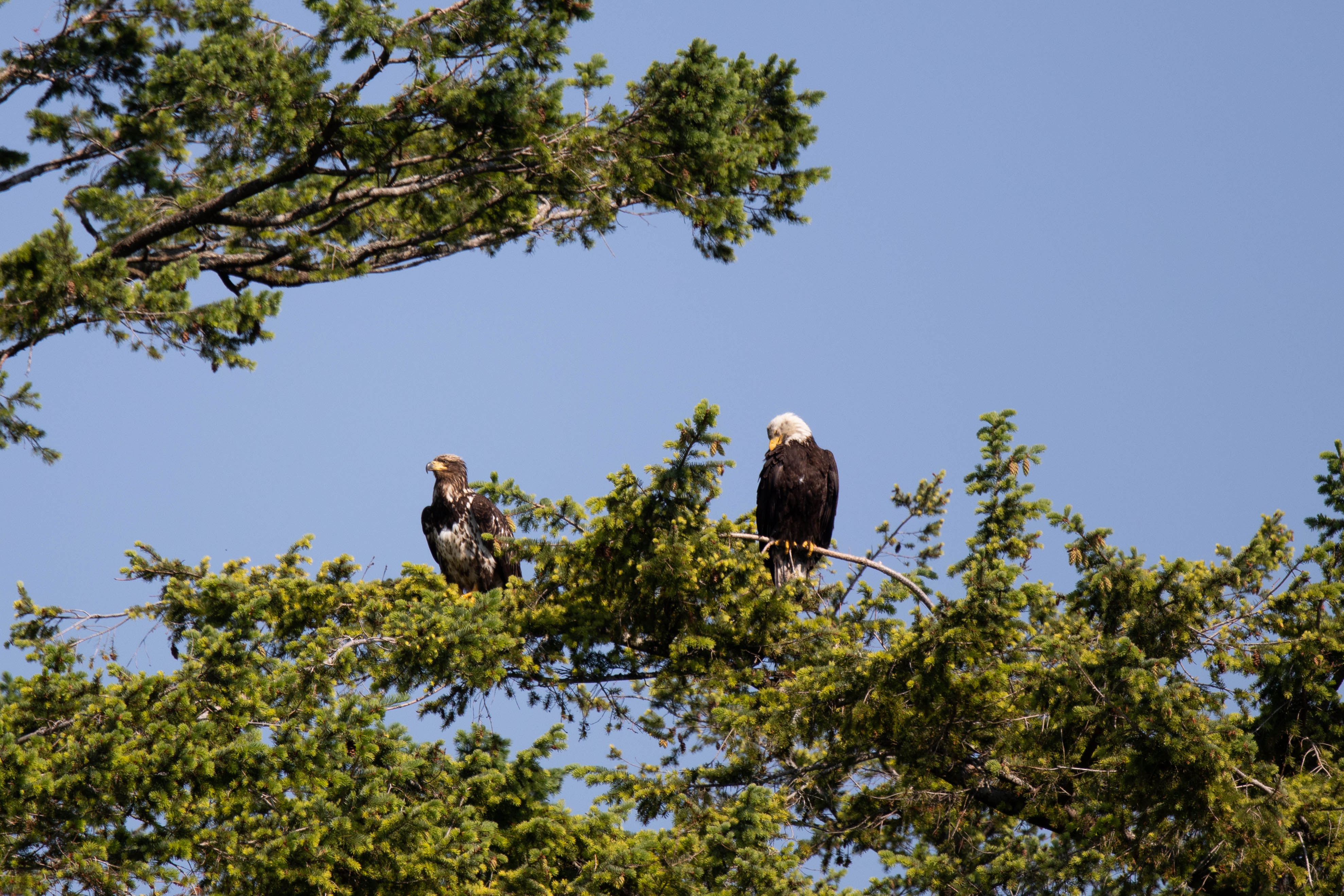 Bald Eagle, Discovery West Adventures, Whale Watching Campbell River, BC, Brown's Bay Resort