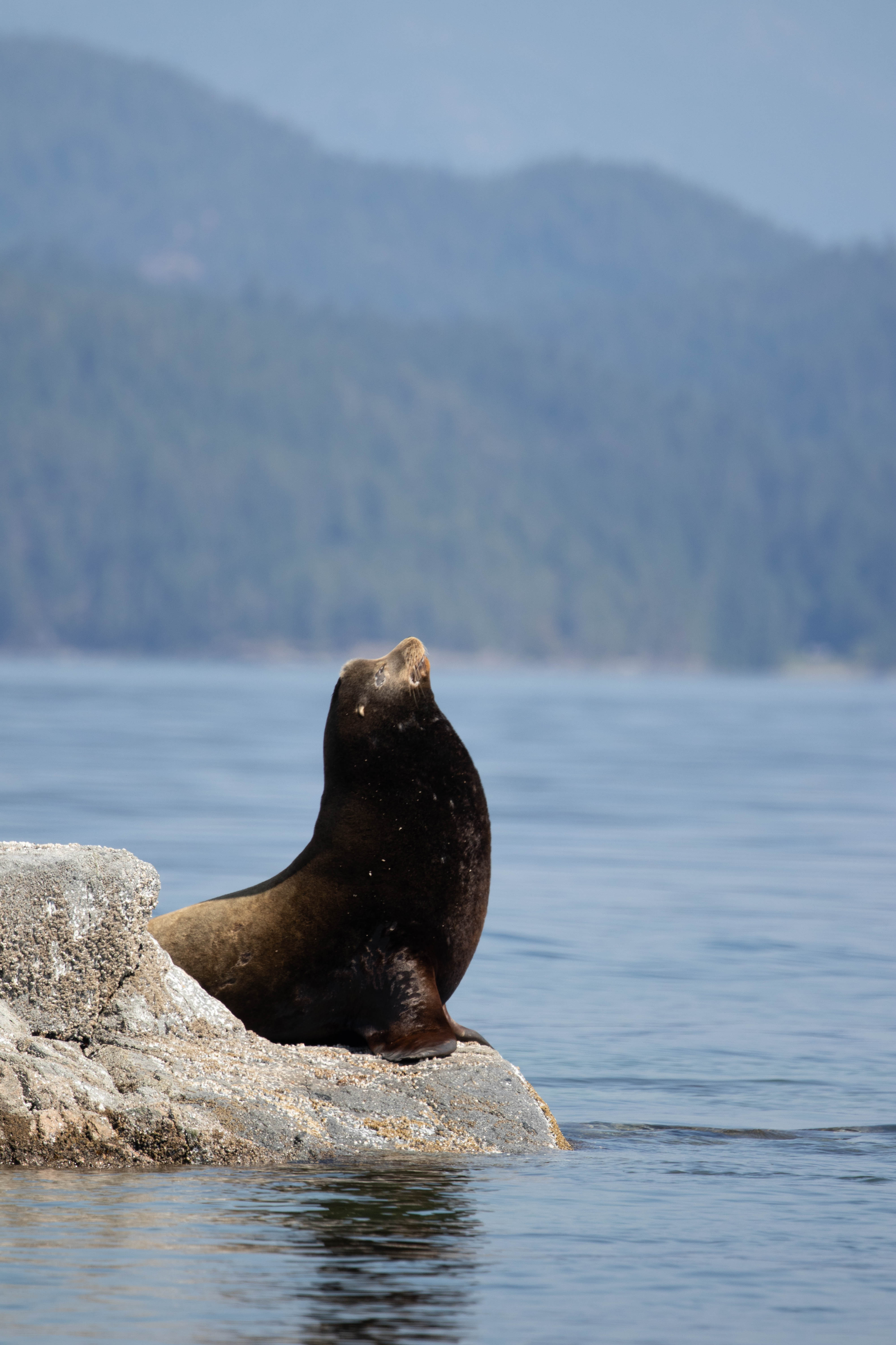 Discovery West Adventures, Whale Watching Campbell River, BC, Brown's Bay Resort, Sea Lions, California Sea Lion