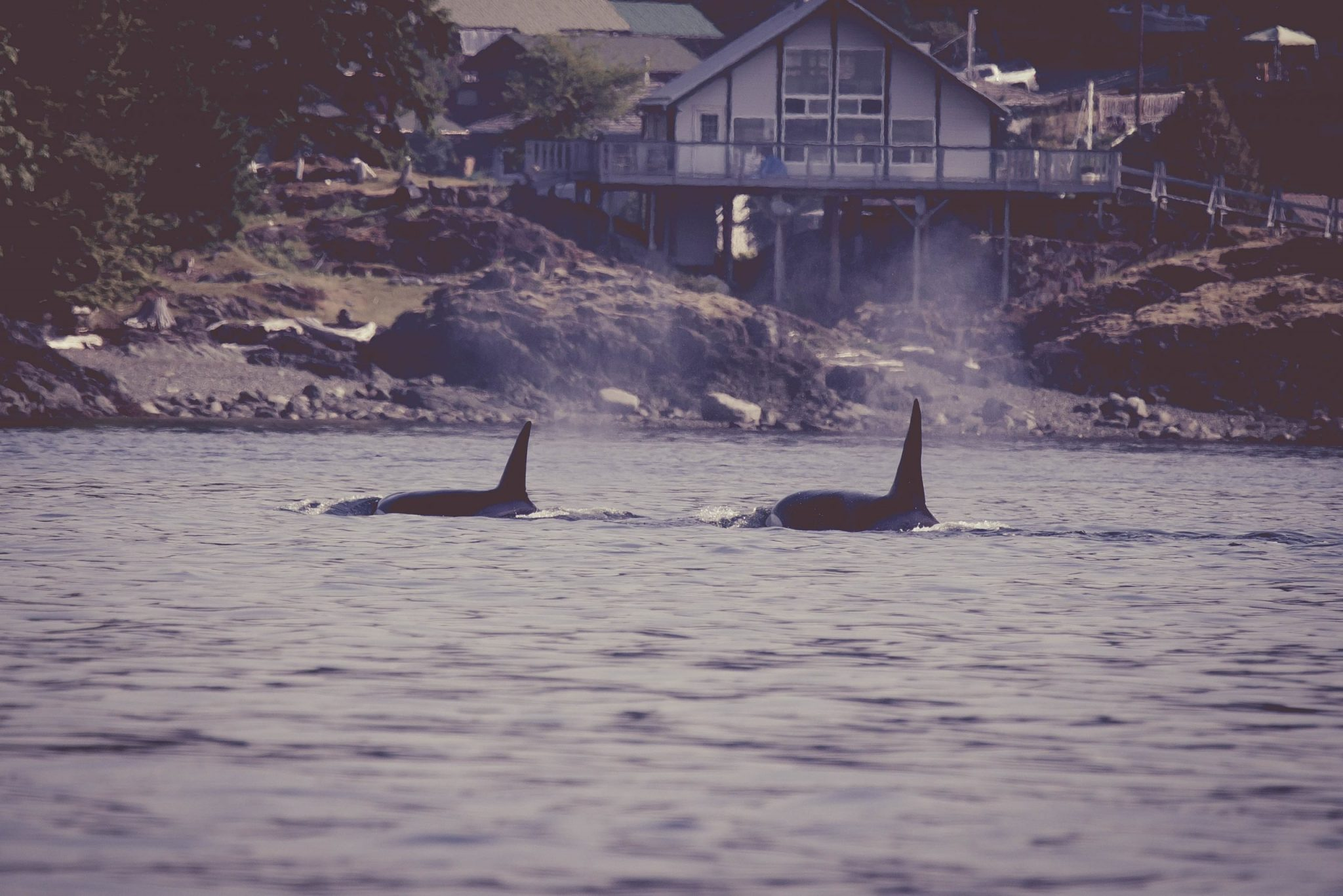 Orca, Killer Whale, Discovery West Adventures, Whale Watching Campbell River, BC, Brown's Bay Resort