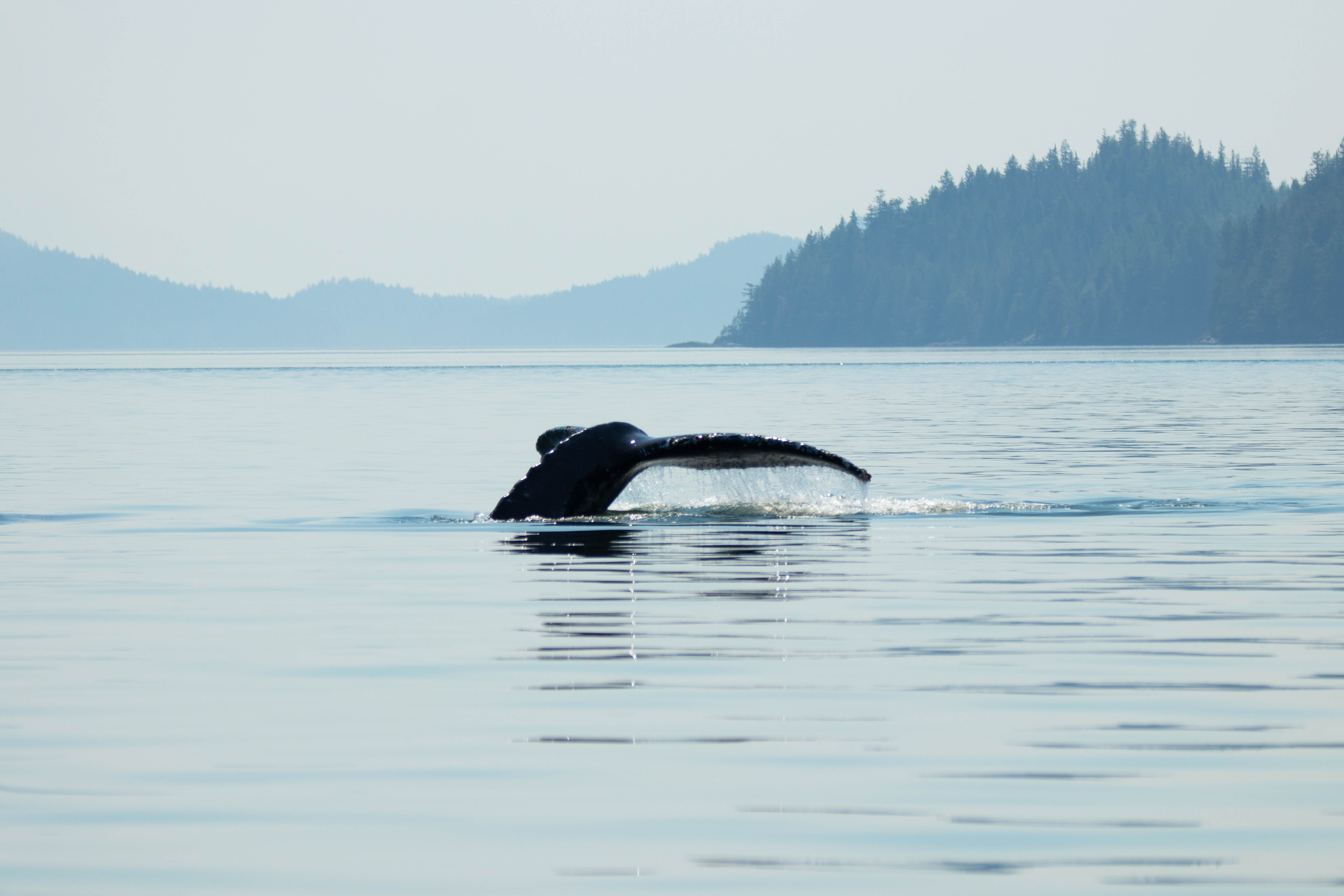 Humpback Whale, Fluke, Discovery West Adventures, Whale Watching Campbell River, BC, Brown's Bay Resort
