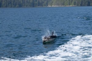 Pacific White-Sided Dolphin, Discovery West Adventures, Whale Watching Campbell River, BC, Brown's Bay Resort