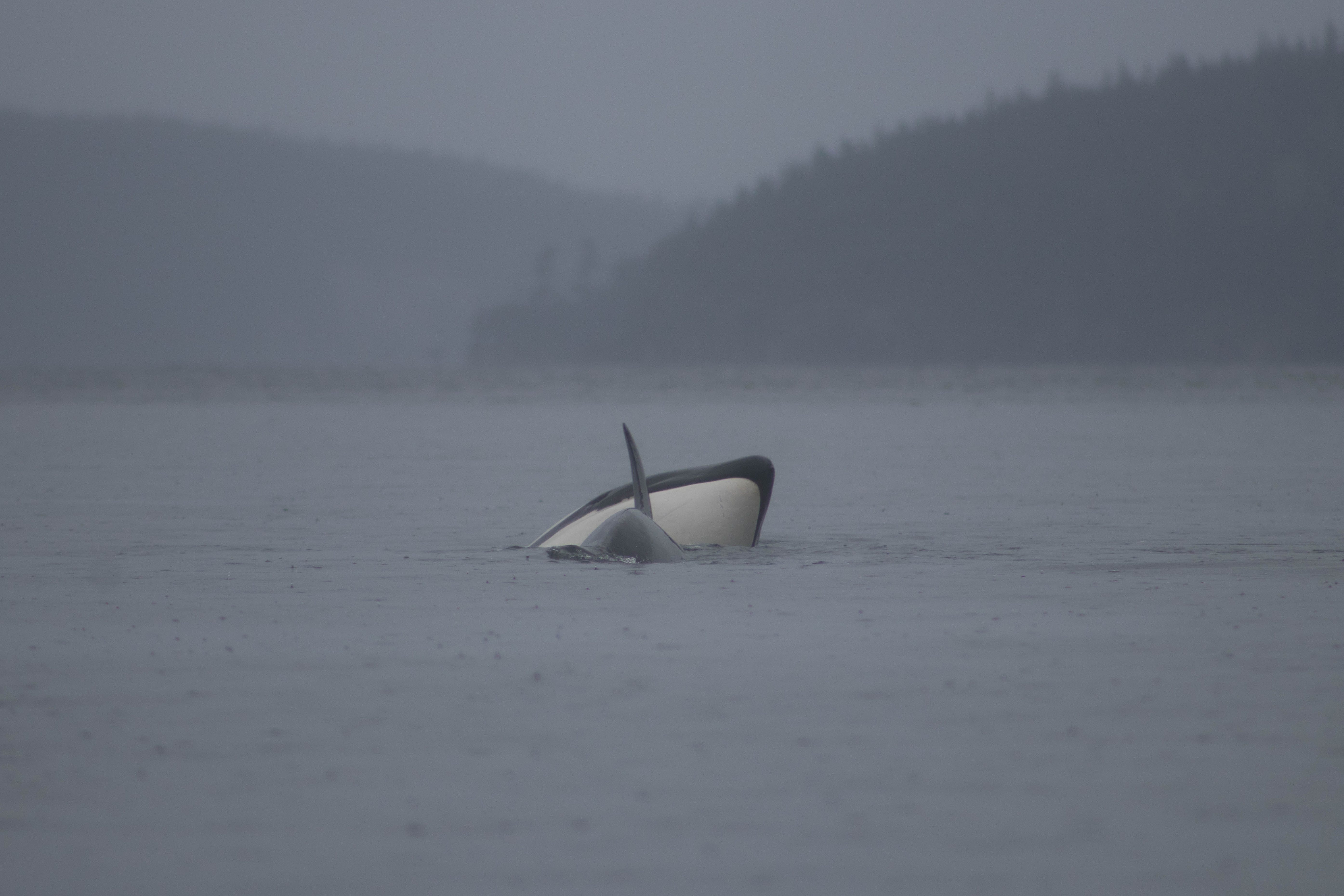 Transient Orcas, Whale Watching, Discovery West Adventures,Whale Watching Campbell River, BC, Brown's Bay Resort