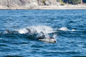 Pacific White Sided Dolphins, Campbell River Whale Watching