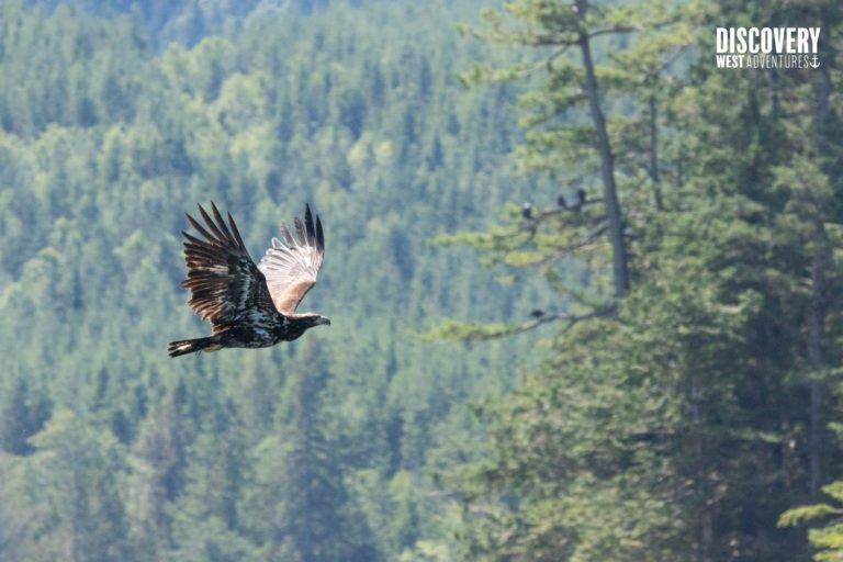 Juvenile Bald Eagle Flying