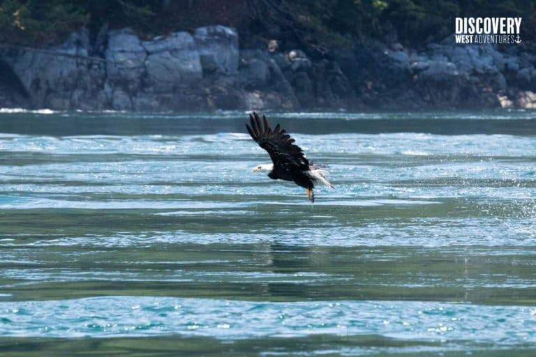 Bald Eagle catching a fish, Campbell River