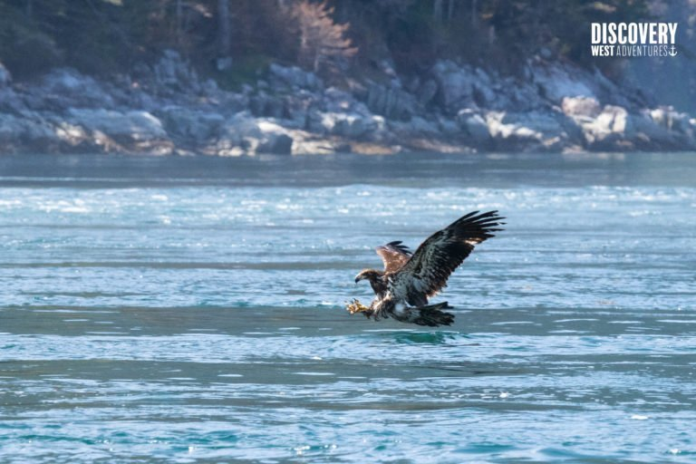 Juvenile Bald Eagle catching a fish, Campbell River