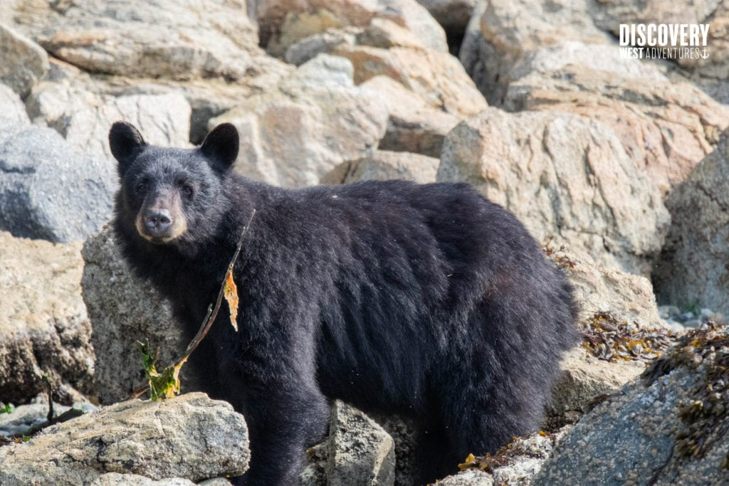 Black Bear On A Beach In Campbell River, British Columbia