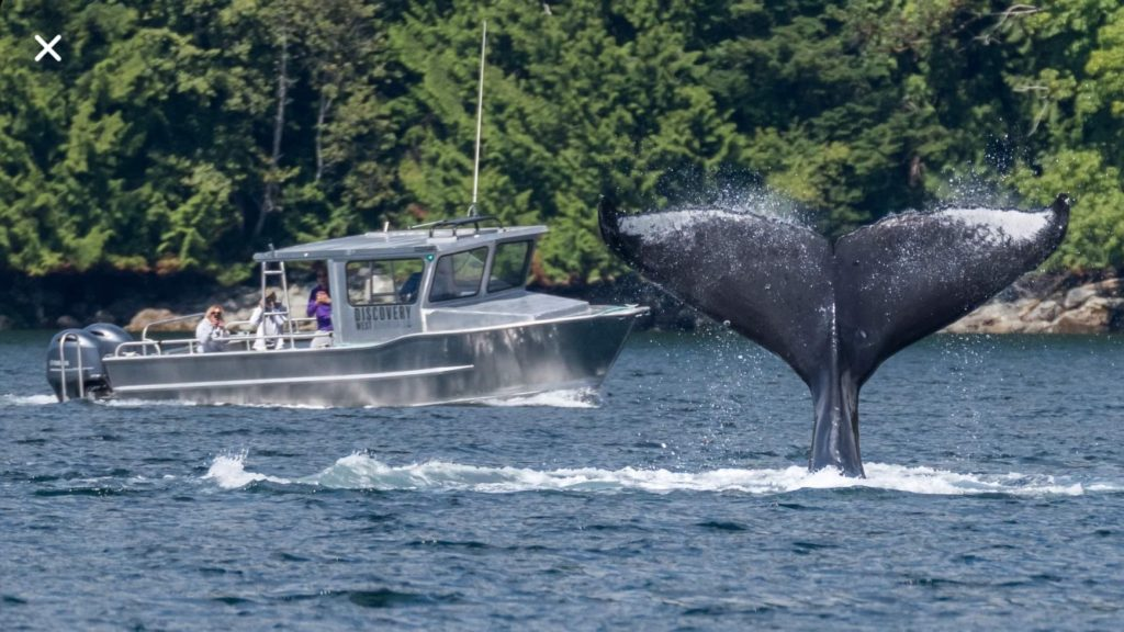 Humpback Tail On A Whale Watching Tour In Campbell River