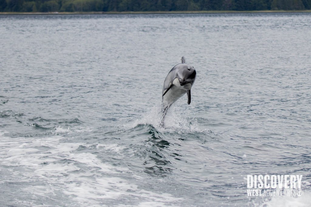 Pacific White Sided Dolphin during a whale watching tour in Campbell River, BC