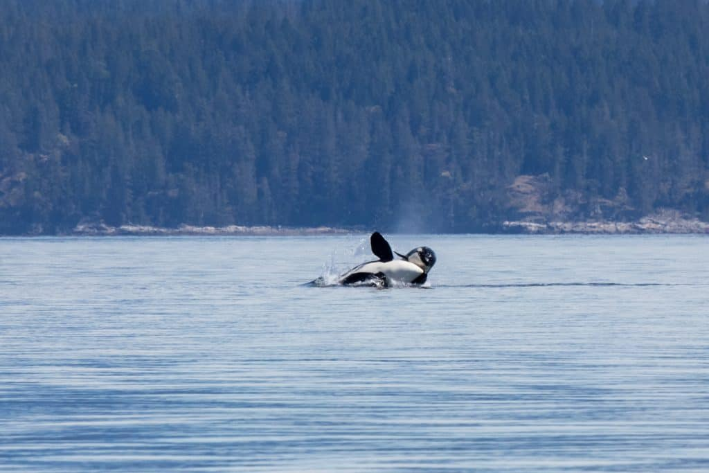 Transient Orca on a Whale Watching Tour in Campbell River