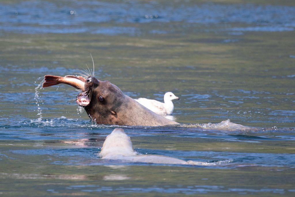 Stellar Sea Lion Eating Fish
