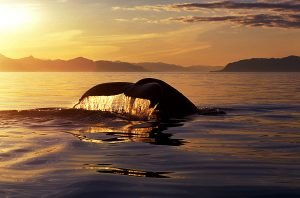 Sunset Tour, Whale Watching Campbell River